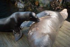 La foca allatta al seno Fotografia Stock