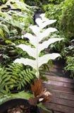 La foglia bianca molto rara della felce di canestro Fotografia Stock