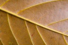 La foglia con le strisce ha fotografato il primo piano Fotografie Stock