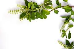 La foglia del basilico rasenta il fondo bianco per la ricerca decorativa del grafico Immagini Stock
