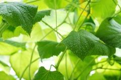 la foglia del cetriolo nelle goccioline di acqua della serra ha offuscato verde-yel Fotografia Stock