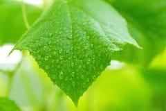 la foglia del cetriolo nelle goccioline di acqua della serra ha offuscato verde-yel Fotografie Stock
