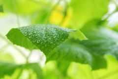 la foglia del cetriolo nelle goccioline di acqua della serra ha offuscato verde-yel Fotografia Stock Libera da Diritti