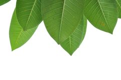La foglia dell'albero è isolamento Fotografia Stock Libera da Diritti