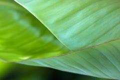 La foglia della banana naturing la progettazione del modello Fotografie Stock Libere da Diritti