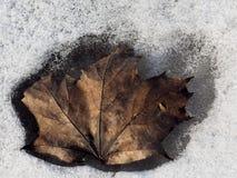 La foglia di acero è congelata nella neve Fotografia Stock