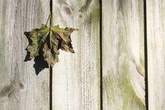 La foglia di acero ha catturato in rete fissa di legno Fotografia Stock