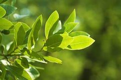 La foglia di alloro si sviluppa in natura Fotografie Stock