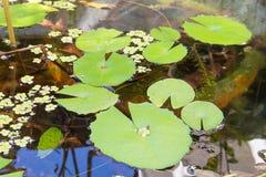 La foglia di Lotus su acqua Immagine Stock Libera da Diritti