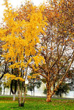 La foglia e l'albero dorati nella città di Chang-Sha Fotografie Stock
