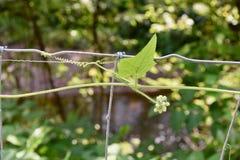 La foglia ed il maschio del cetriolo dell'ufficio fioriscono su un cavo Fotografia Stock