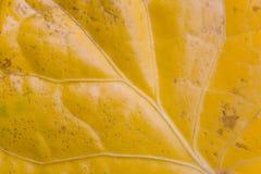 La foglia gialla con le strisce ha fotografato il primo piano Fotografie Stock Libere da Diritti