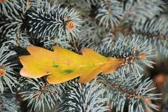 La foglia gialla di autunno della quercia è caduto sull'abete rosso immagini stock