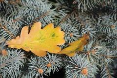 La foglia gialla di autunno della quercia è caduto sull'abete rosso fotografie stock