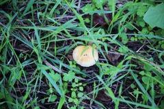 La foglia gialla di autunno della quercia è caduto sull'abete rosso fotografia stock