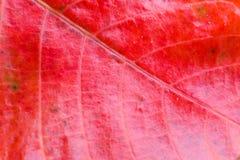 La foglia rossa con le strisce ha fotografato il primo piano Fotografie Stock Libere da Diritti