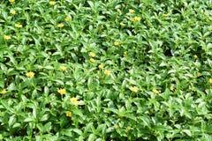 La foglia verde con la margherita fiorisce il fondo vivo della natura di picchiettio fotografia stock libera da diritti