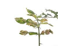 La foglia verde della calce del kaffir lascia la mostra del problema di ulcera studio Fotografia Stock