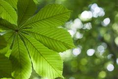 La foglia verde fresca del castagno ha offuscato il dapth basso del fondo fotografie stock