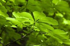 La foglia verde fresca del castagno ha offuscato il dapth basso del fondo fotografia stock libera da diritti