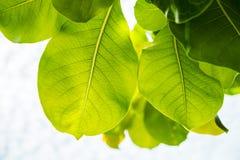 La foglia verde fresca dell'albero lascia in un'inquadratura della foresta Fotografia Stock Libera da Diritti