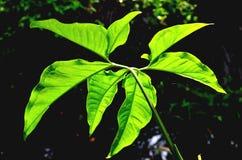 La foglia verde nell'ambito della luce solare Fotografia Stock Libera da Diritti