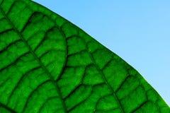 La foglia verde venato il primo piano ed il cielo macro Immagine Stock Libera da Diritti