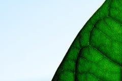 La foglia verde venato il primo piano macro Immagini Stock