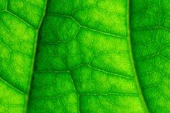 La foglia verde venato il primo piano macro Immagini Stock Libere da Diritti