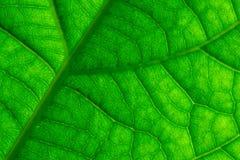 La foglia verde venato il primo piano macro Fotografia Stock Libera da Diritti
