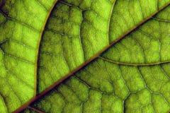 La foglia verde venato il primo piano macro Fotografie Stock