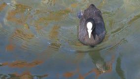 La folaga del nero del bambino che si contorce la sua testa e che nuota nel lago GH4 4K UHD stock footage