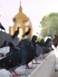 La folla dei piccioni in tempio tailandese immagine stock