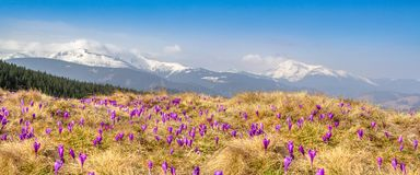 La fonte de neige de ressort et dans les vallées carpathiennes élèvent de beaux crocus alpins de fleurs, ils sont également Geyfe photos libres de droits