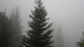 La forêt a été couverte de brouillard Dessus verts des arbres coniféres, de l'herbe et des buissons banque de vidéos