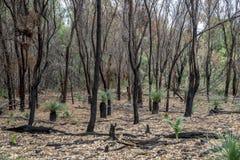 La forêt brûlée reste après le feu de brousse dans le parc national de Yanchep Image libre de droits