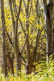 La forêt d'arbres vident des feuilles Image libre de droits