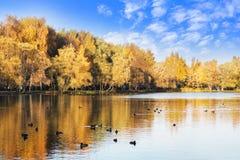 La forêt d'automne est reflétée dans le lac avec des canards, ciel bleu images libres de droits