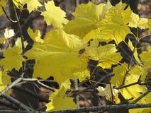 la forêt d'automne part du jaune Photo stock
