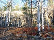 La forêt d'automne sur le fond le du ciel Bouleaux et pins dans la forêt photographie stock libre de droits