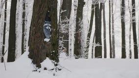 La forêt d'hiver, dans l'écorce d'un arbre épais a peint le raton laveur réaliste banque de vidéos