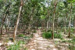 La forêt dans les arbres en caoutchouc en Thaïlande Images stock
