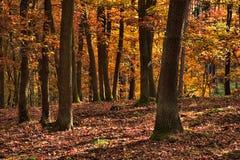 La forêt de chêne photos stock