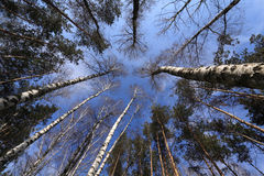 La forêt de ciel au printemps Photographie stock libre de droits