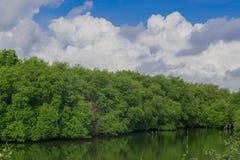 La forêt de palétuvier Photographie stock libre de droits
