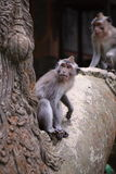 Les fascicularis de Macaca dans Ubud Monkey la forêt, Bali, Indonésie Image libre de droits