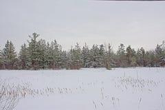 La forêt impeccable avec la neige a couvert le champ de transitoires de roseau de Cattail collant hors de la neige - typha photographie stock