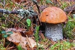 La forêt rouge-a couvert le scaber égrappent l'aurantiacum de Leccinum après fin de pluie  Entouré par des aiguilles de pin et de image stock