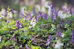 La forêt sauvage de premier ressort cave de Corydalis fleurit en fleur, usines fleurissantes pourpres de violette blanche belles  image libre de droits
