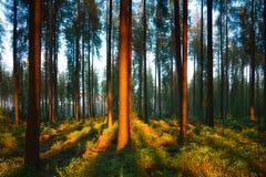 La forêt silencieuse au printemps avec le beau soleil lumineux rayonne Photographie stock
